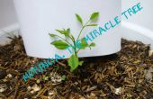 Verzamelen van Moringa, alias The Miracle Tree