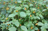 Poison Ivy remedie met Jewelweed
