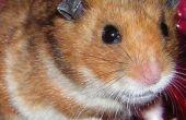 Vangen een ontsnapt Hamster met overschot elektronica