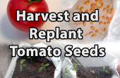 Hoe te oogsten en herbeplanting tomaten zaden