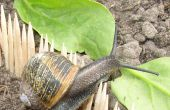 Mislukte Project: Houden slakken weg van een moestuin