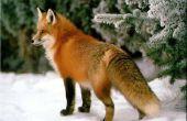 Hoe teken je een vos in de sneeuw.