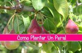 Como plantaire Un Peral