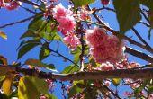 Conserven Cherry Blossoms