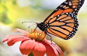 Opslaan van de monarchvlinder