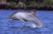 Hoe maak je een dolfijn