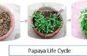 Papaya groeien uit zaden
