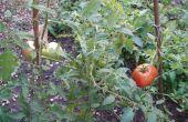Groeien tomaten uit zaad