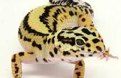 Hoe om te fokken Luipaard gekko's