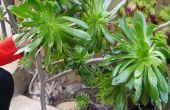 Hoe neem ik stekken van mijn Aeonium Arboreum