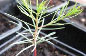 Uw eigen reus Sequoia boom groeien