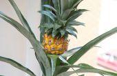 Hoe om te groeien van de ananas