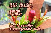 Grote Bush, kleine ruimte ~ How to Espalier een granaatappel Bush