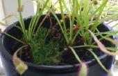 Drosera capensis - groeiende/zorg
