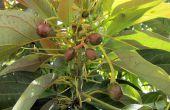 Een ander kweken van een Avocado (12 jaar in de maak)