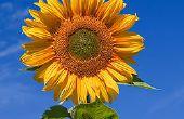 How To Save uw zonnebloemen van beestjes voor minder dan $2