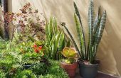 3 manieren om te propageren Sansevierias Aka Snake planten
