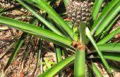 Hoe groeien ananas