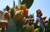Hoe te eten prickly pear, alias cactus-vrucht, alias tonijn