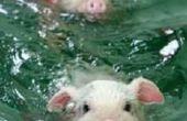 Piggys!
