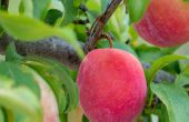 Top 5 redenen voor haarverlies een Fruit Tree & hoe IT
