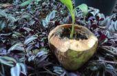Hoe maak je een ecologische jonge kokosnoot planter