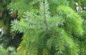 Pine gesneden Cure