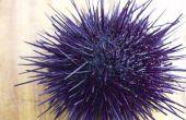 DIY Uni Sushi. Zee-egels dissectie leven in foto's