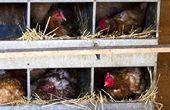 Verhogen van uw kippen door gebouw Coops met verschillende Chicken Coop plannen