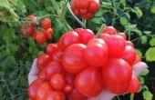 De beste tomatenrassen uit zaad groeien