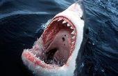 Hoe te te vechten een haai!