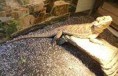 Het instellen van een bebaarde draak Terrarium