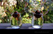Kweken van Avocado planten uit zaad
