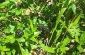 BlackBerry tarwe muffins