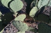 Plant een Cactus Prickly Pear