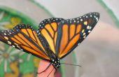 Monarch Butterflies--Ei tot vlinder