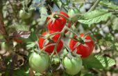 Hoe maak je een verhoogde Garden Bed met tomaten
