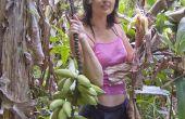 Hoe om te oogsten van de bananen