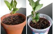 Hoe om te groeien van appelbomen uit zaad