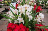 13 bloeiende Plant keuzes voor de kerst, dan Poinsettia