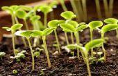 Hoe om te groeien van zaailingen