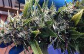 Trimmen en drogen van Cannabis