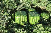 Hoe maak je vierkante vorm watermeloen