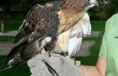 Wilde roofvogels - Bird behandeling