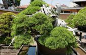 Een Bonsai groeiende