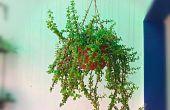 Groeien prachtig Jade plant in opknoping mand gemakkelijk