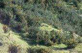 Verwijder Gorse (Ulex Europeanen) met Nieuw-Zeeland Native bush