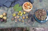 Verwerking gemeenschappelijke boom voedsel: Eikels, zwarte walnoten, Hickory noten, kaki
