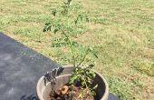 Vrijwilliger tomaten planten