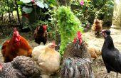 Stress in biologische kippen - het implementeren van strategieën ter voorkoming en stop stress.